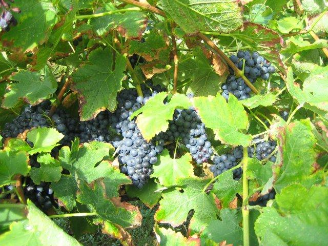 http://le-brouillon.cowblog.fr/images/vigne.jpg